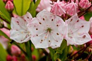 laurel-blossum-1-1